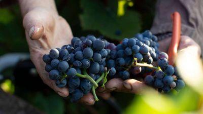 21877270-koenig-der-rotweine-die-trauben-wie-die-pinot-noir-spaetburgunder-werden-per-hand-gelesen-2uOLkF2DVJa7.jpg